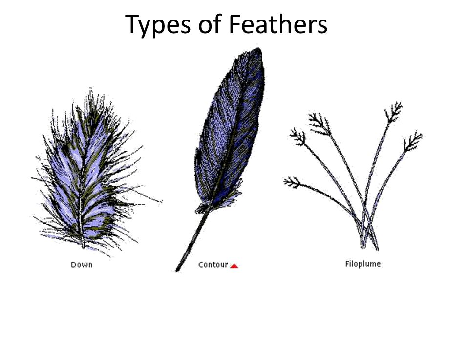 Adaptations for Flight Feathers- modified scales Pectoral appendages = wings Lightweight skeleton filled w/ air sacs High metabolic rate Endothermic-
