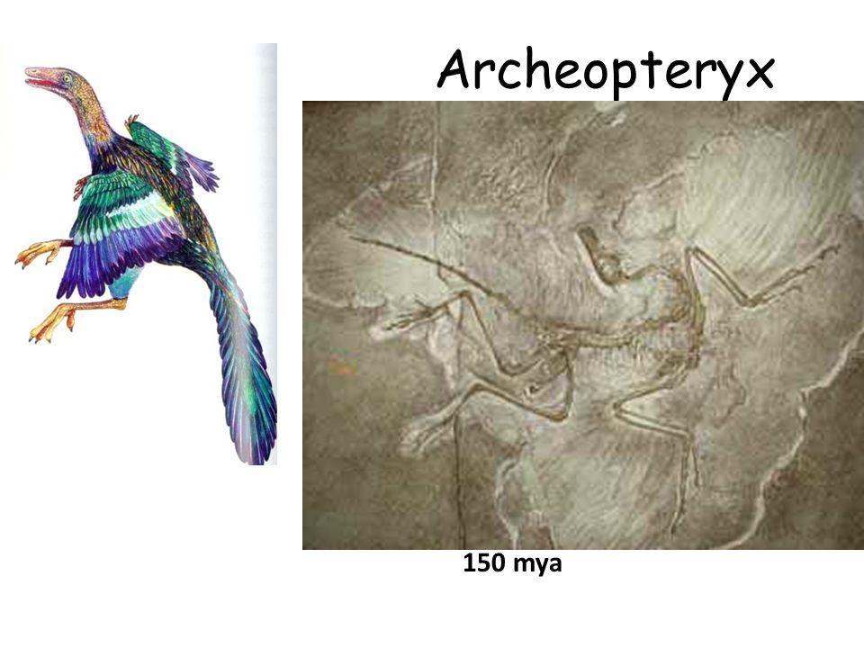 Archeopteryx 150 mya