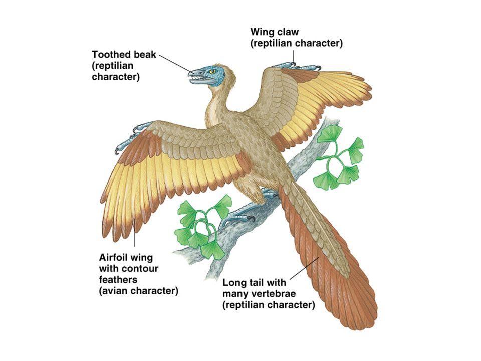 49 Order Columbiformes Short neck Short legs Pigeons Doves