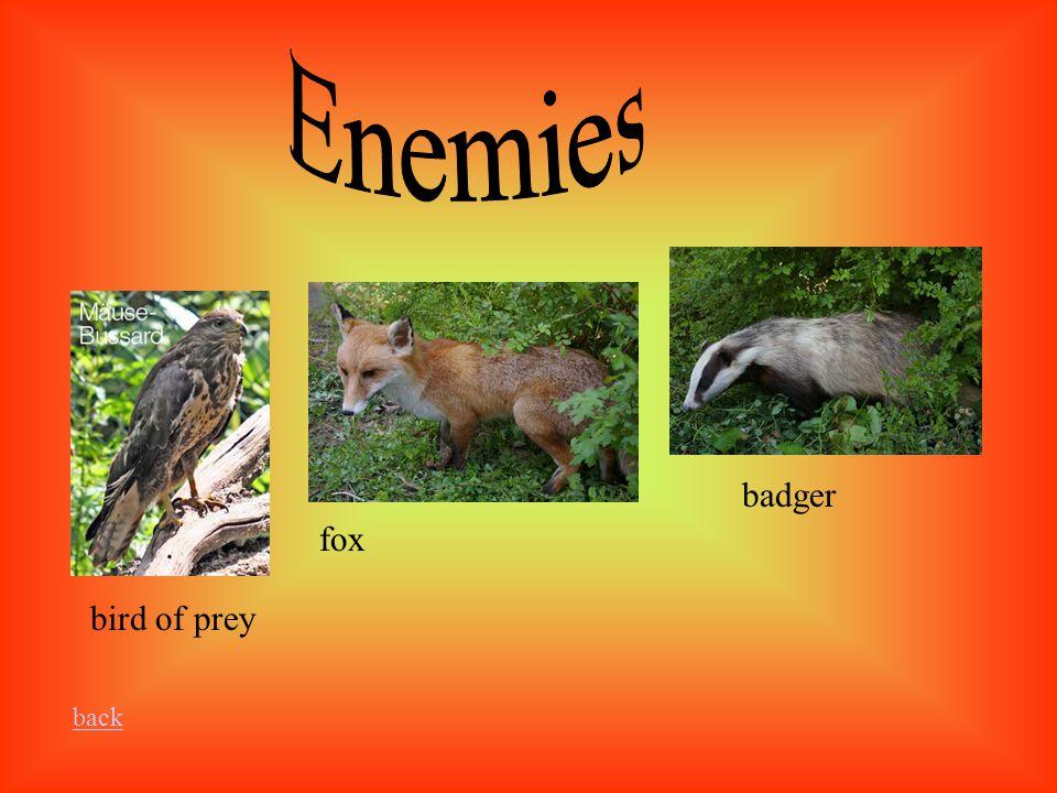 bird of prey fox badger