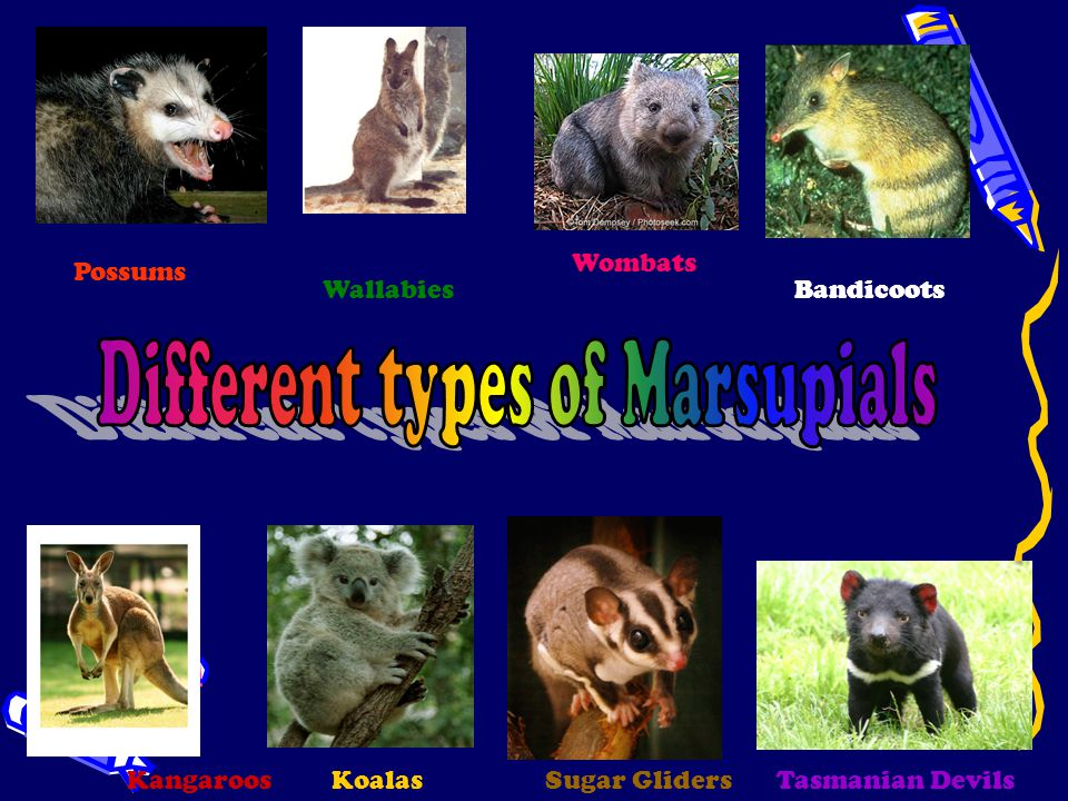 A marsupial is a mammal that has a pouch to carry and raise its young.