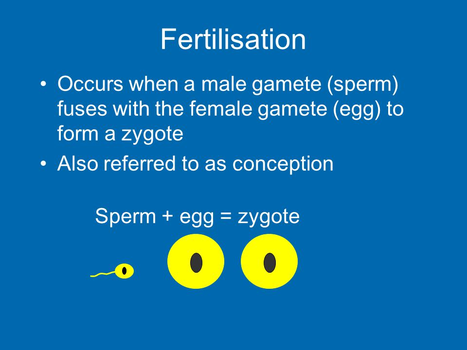 Occurs when a male gamete (sperm) fuses with the female gamete (egg) to form a zygote Also referred to as conception Sperm + egg = zygote Fertilisatio