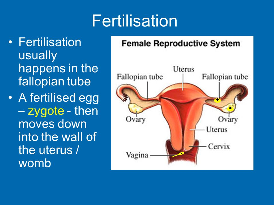 Fertilisation usually happens in the fallopian tube A fertilised egg – zygote - then moves down into the wall of the uterus / womb Fertilisation