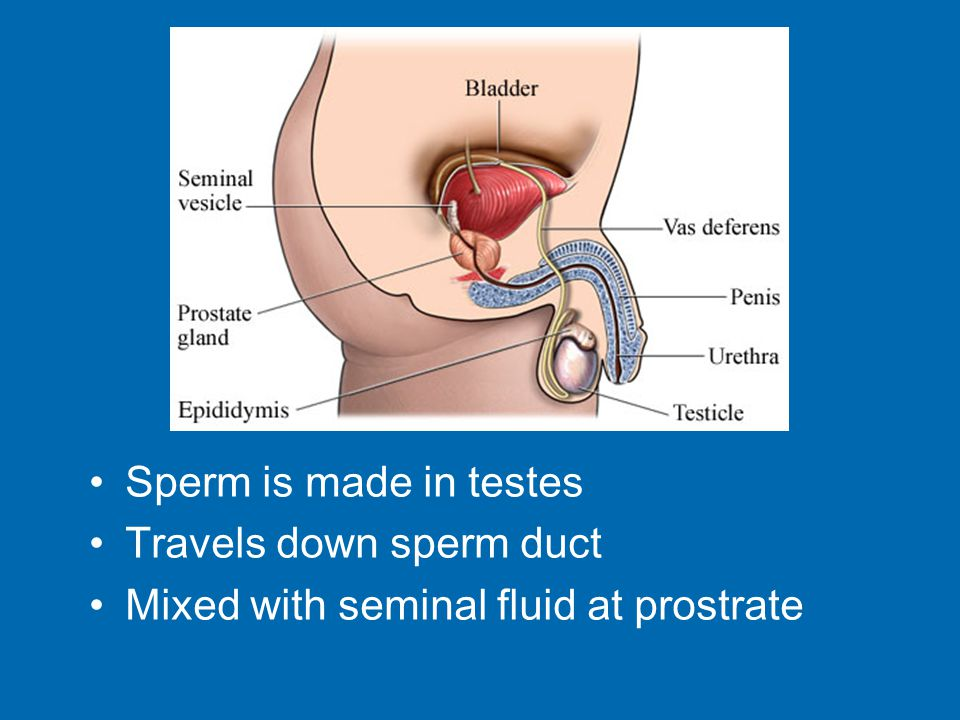 Sperm is made in testes Travels down sperm duct Mixed with seminal fluid at prostrate