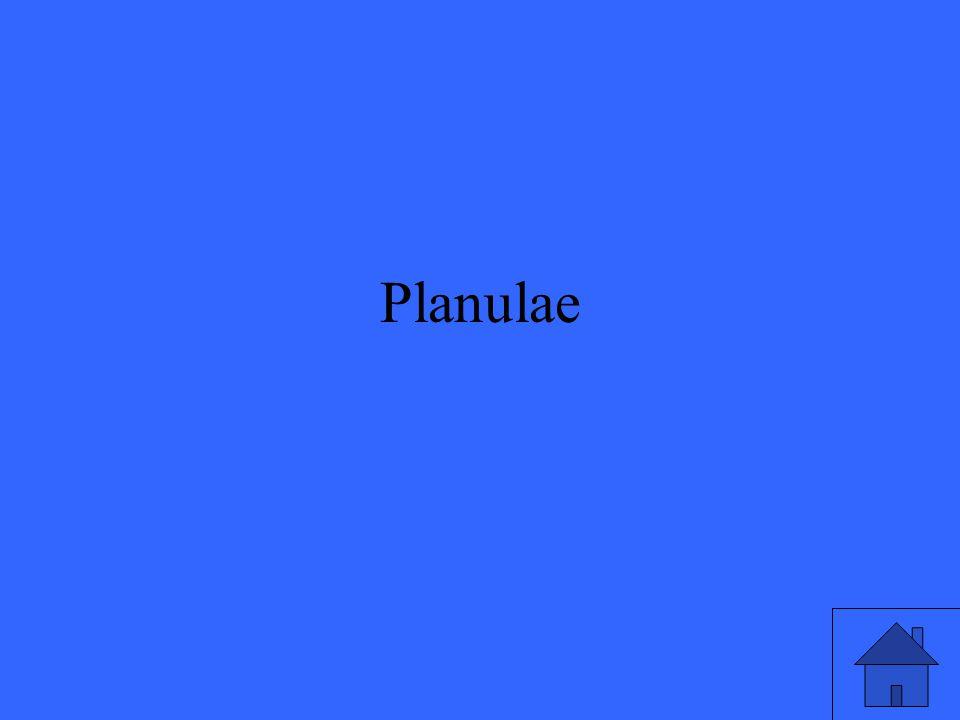 Planulae