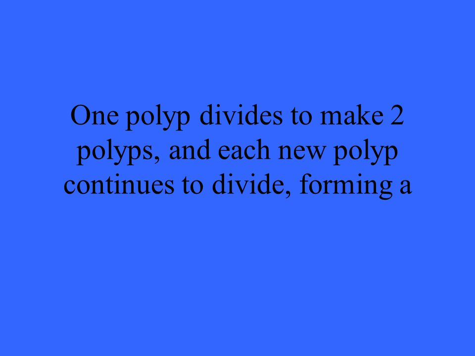 One polyp divides to make 2 polyps, and each new polyp continues to divide, forming a