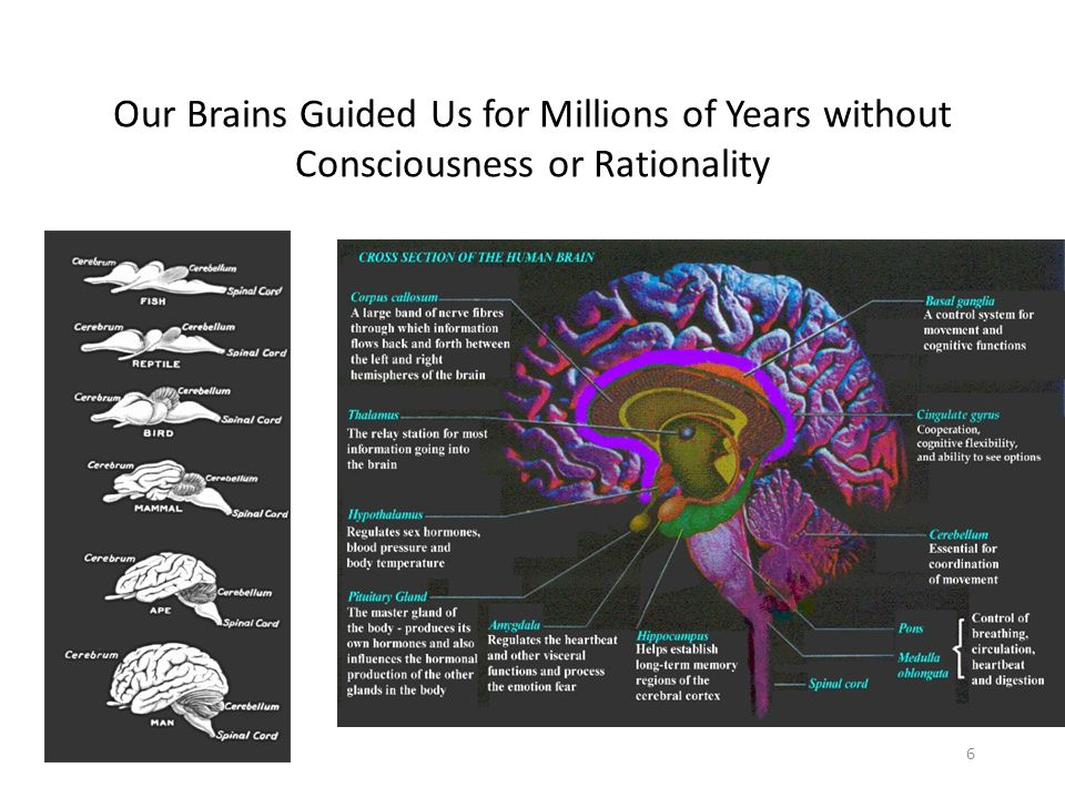 Our Brains Guided Us for Millions of Years without Consciousness or Rationality 6
