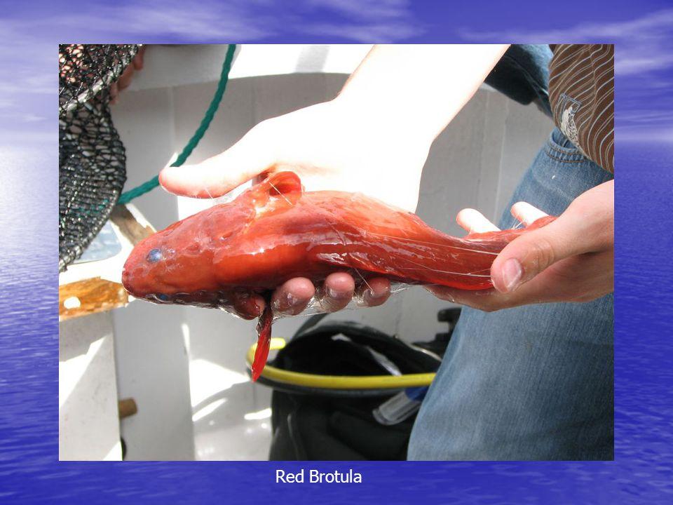 Red Brotula