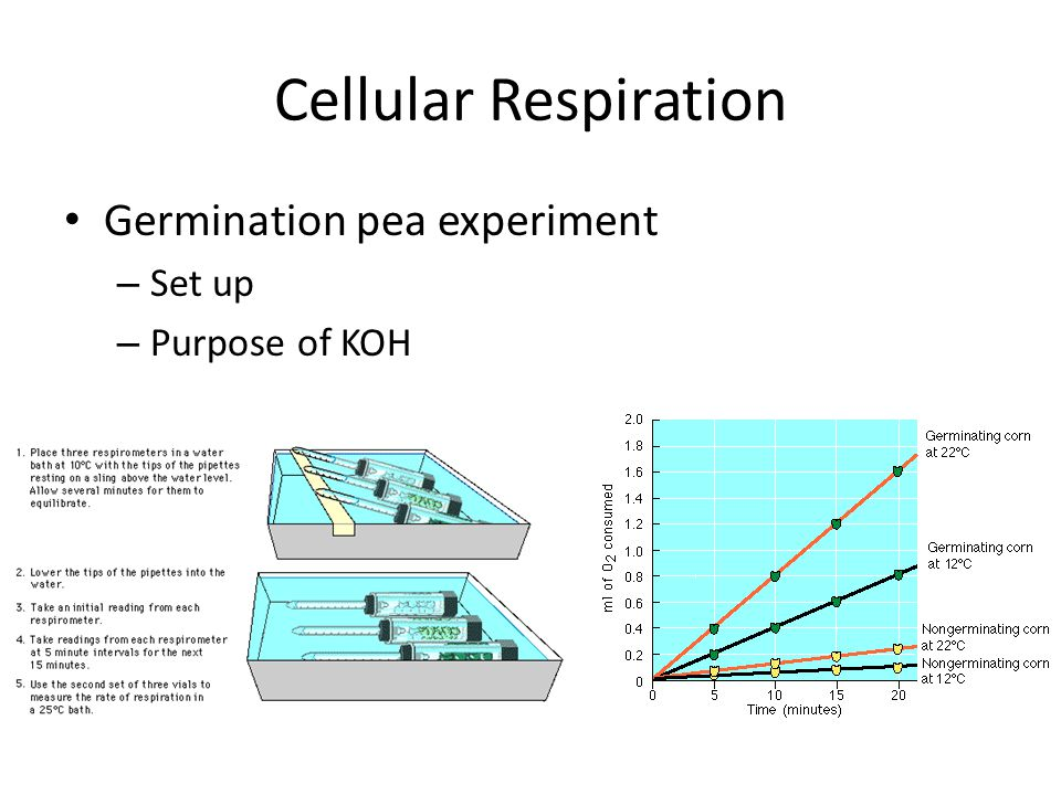 Cellular Respiration Germination pea experiment – Set up – Purpose of KOH