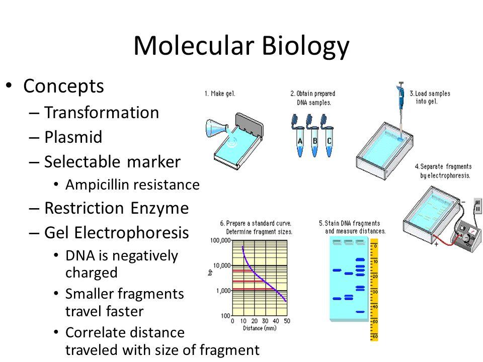 Molecular Biology Concepts – Transformation – Plasmid – Selectable marker Ampicillin resistance – Restriction Enzyme – Gel Electrophoresis DNA is nega