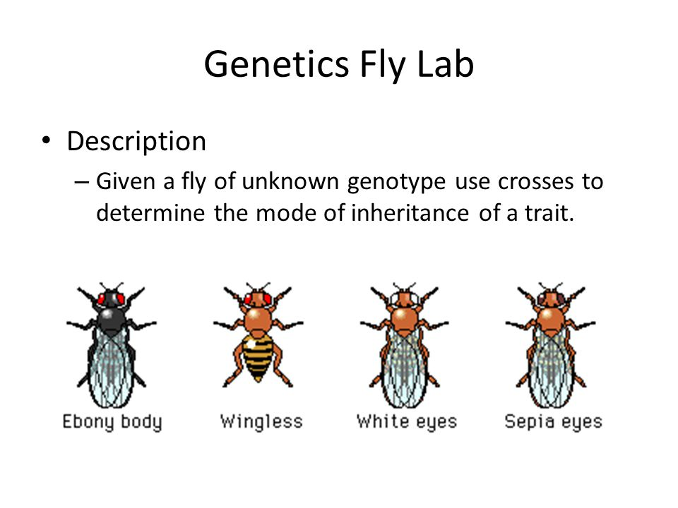 Genetics Fly Lab Description – Given a fly of unknown genotype use crosses to determine the mode of inheritance of a trait.