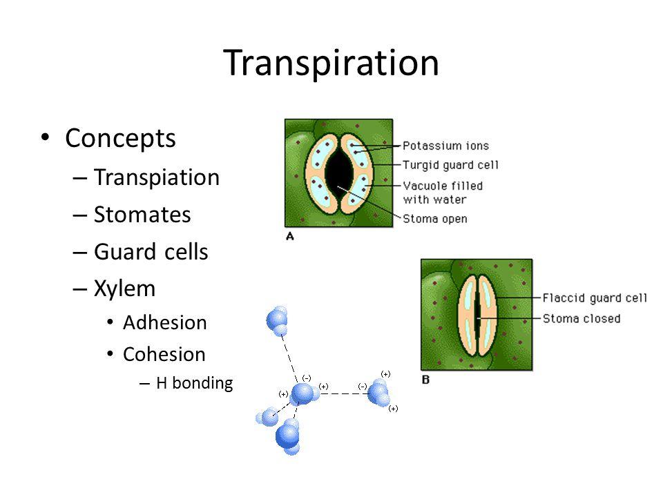 Transpiration Concepts – Transpiation – Stomates – Guard cells – Xylem Adhesion Cohesion – H bonding