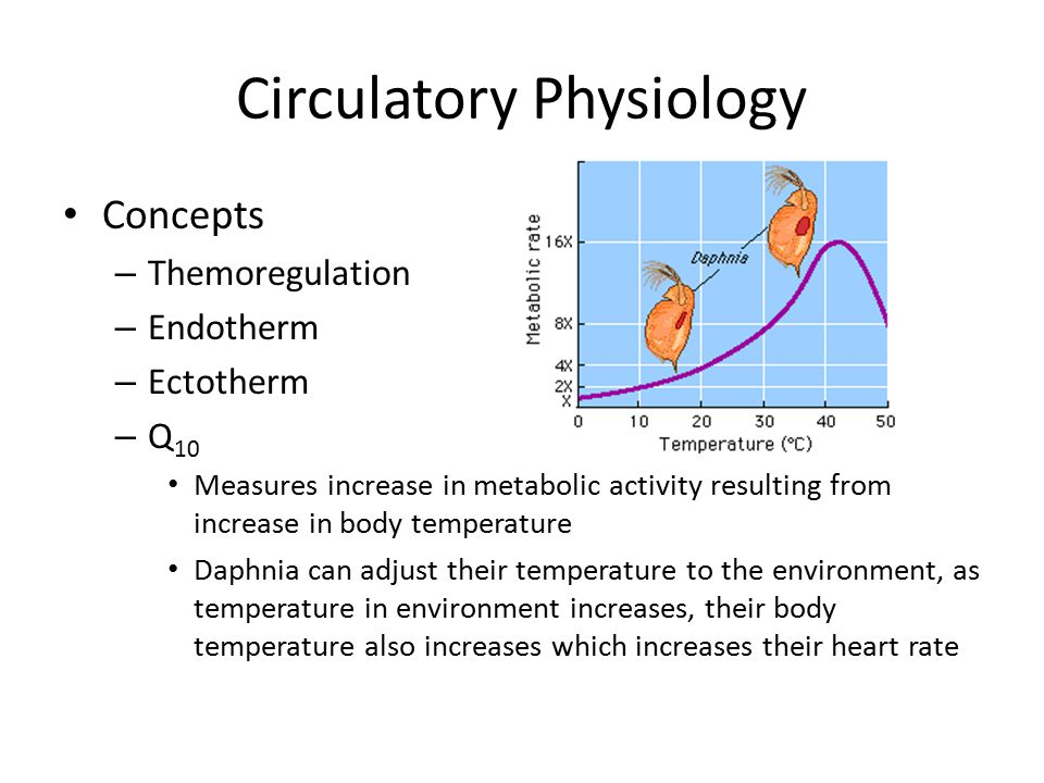 Circulatory Physiology Concepts – Themoregulation – Endotherm – Ectotherm – Q 10 Measures increase in metabolic activity resulting from increase in bo