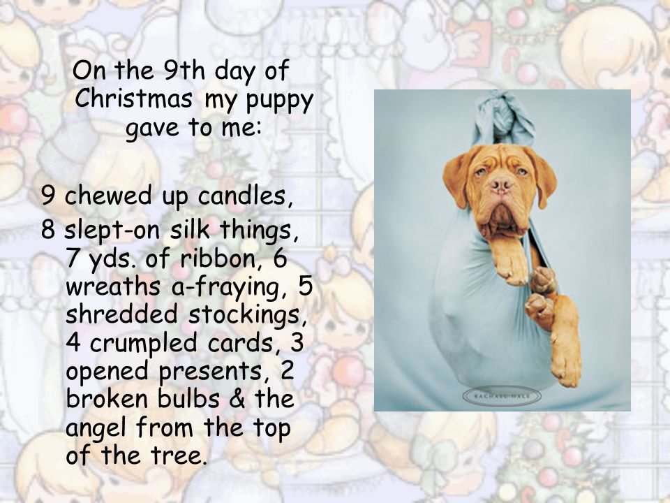 On the 8th day of Christmas my puppy gave to me: 8 slept-on silk things, 7 yds.