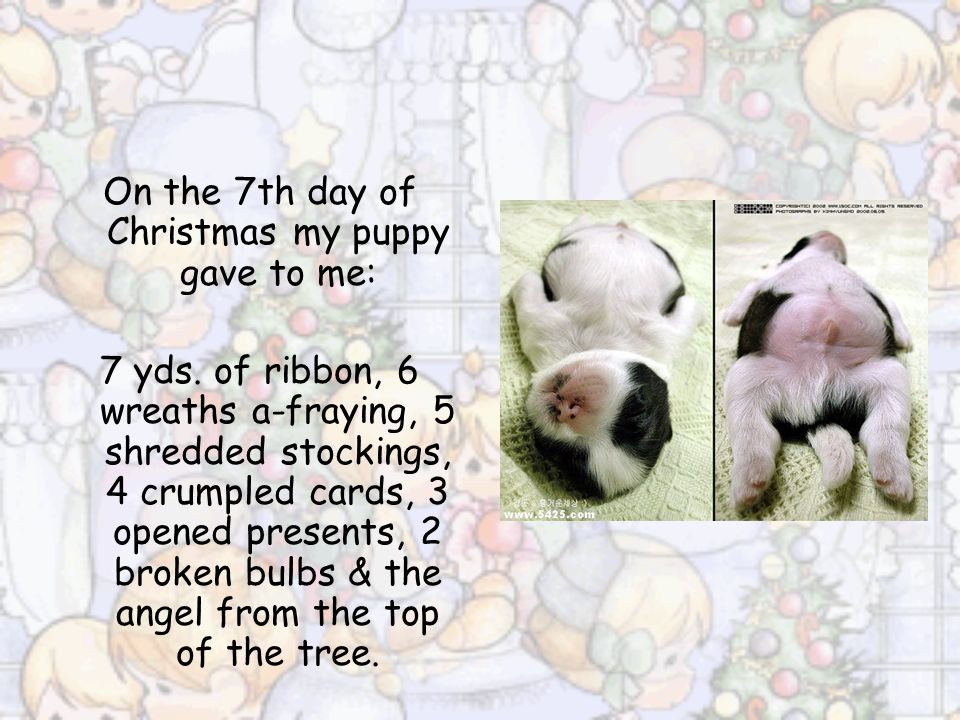 On the 7th day of Christmas my puppy gave to me: 7 yds.