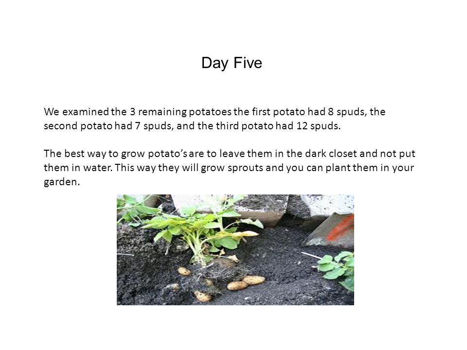 Day Five We examined the 3 remaining potatoes the first potato had 8 spuds, the second potato had 7 spuds, and the third potato had 12 spuds.