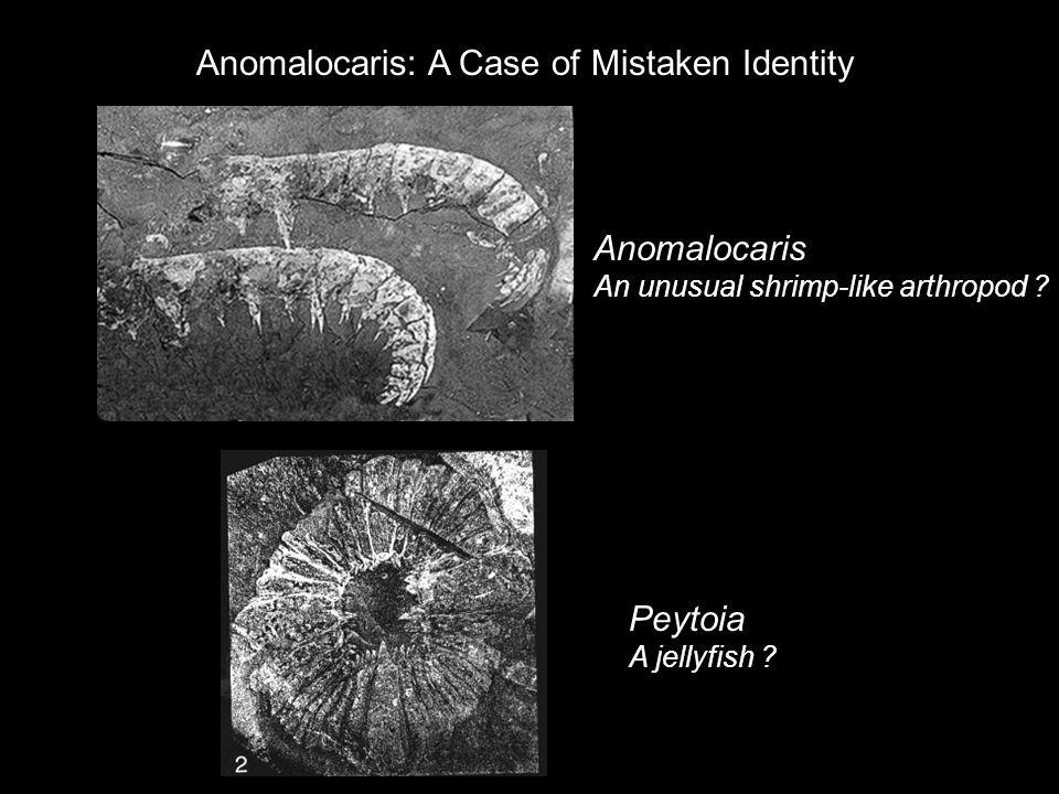 Anomalocaris An unusual shrimp-like arthropod ? Peytoia A jellyfish ? Anomalocaris: A Case of Mistaken Identity
