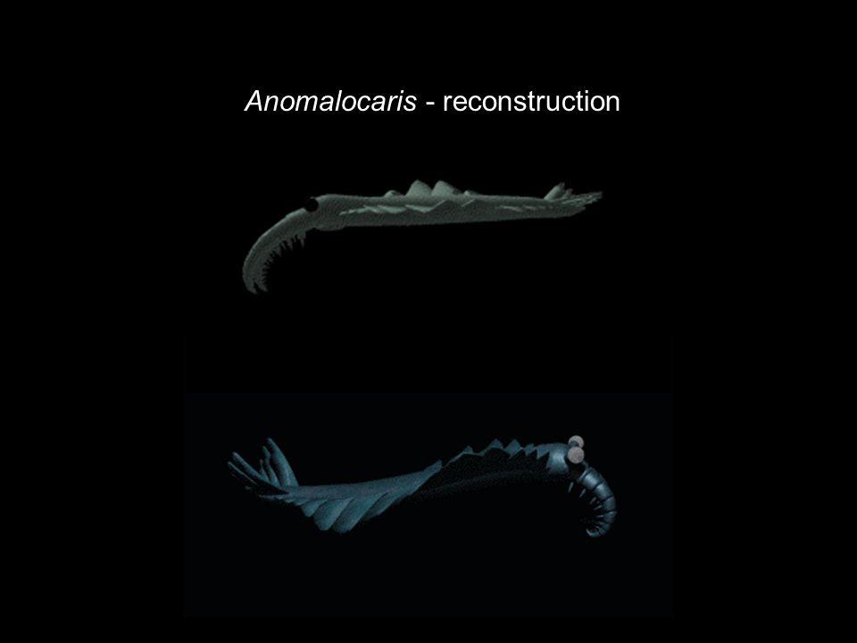 Anomalocaris - reconstruction