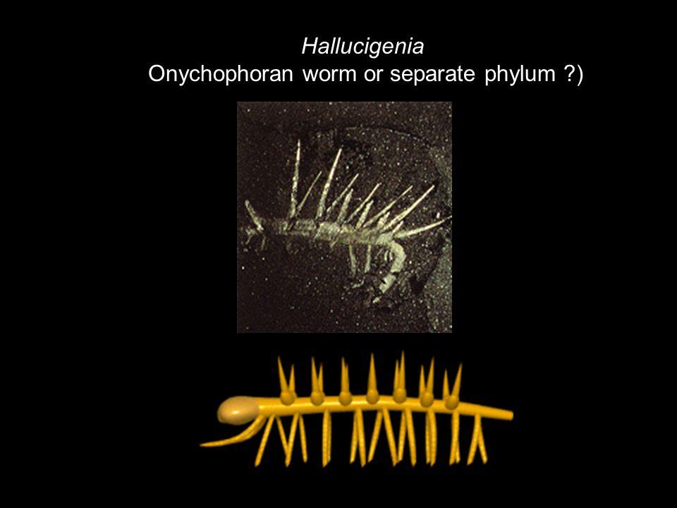 Hallucigenia Onychophoran worm or separate phylum ?)