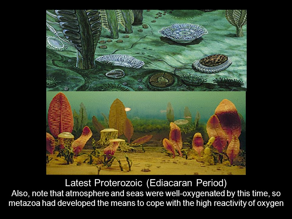 Latest Proterozoic (Ediacaran Period) Also, note that atmosphere and seas were well-oxygenated by this time, so metazoa had developed the means to cop