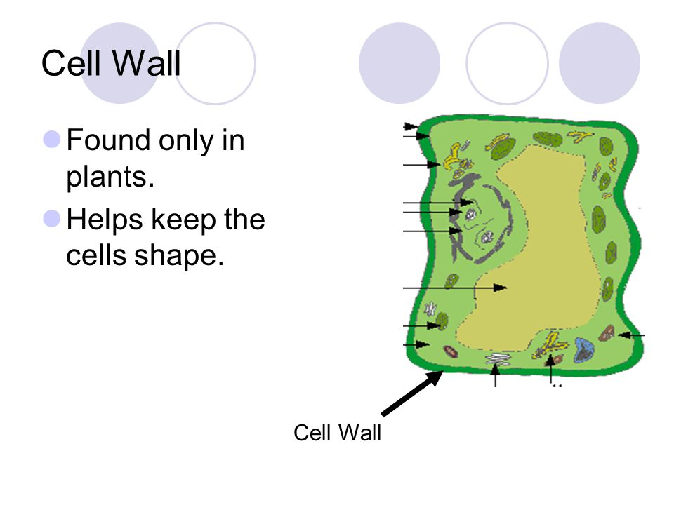 Cell Wall Found only in plants. Helps keep the cells shape. Cell Wall