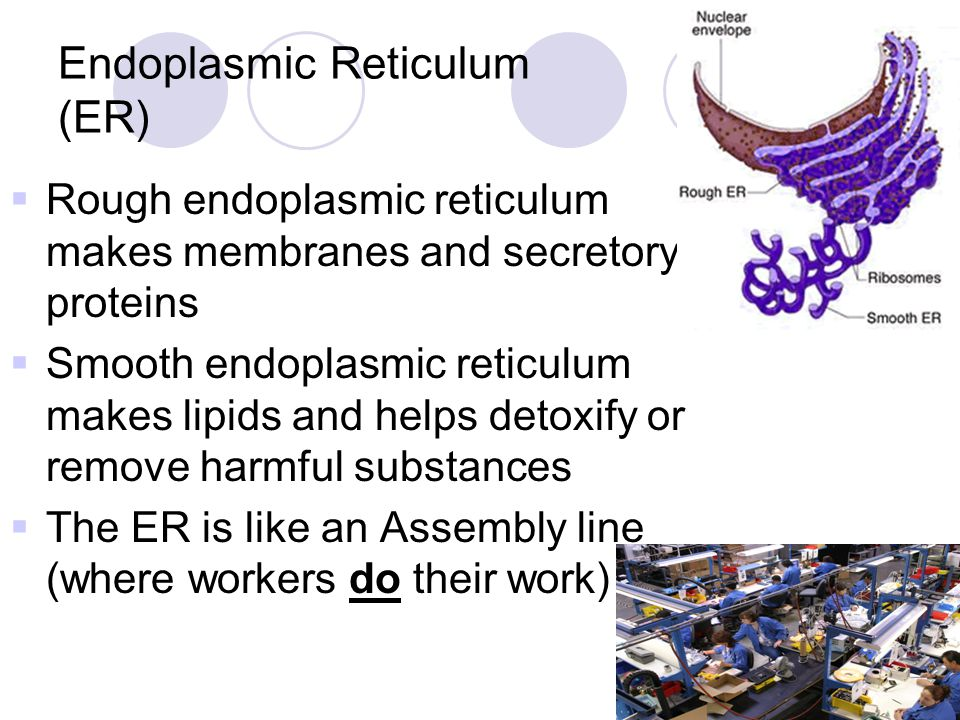 Endoplasmic Reticulum (ER)  Rough endoplasmic reticulum makes membranes and secretory proteins  Smooth endoplasmic reticulum makes lipids and helps detoxify or remove harmful substances  The ER is like an Assembly line (where workers do their work)
