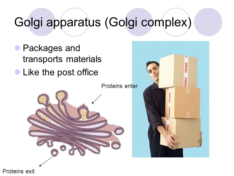 Golgi apparatus (Golgi complex) Packages and transports materials Like the post office Proteins enter Proteins exit