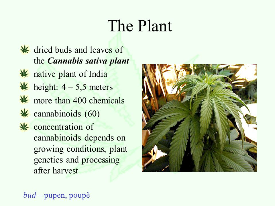 The Plant dried buds and leaves of the Cannabis sativa plant native plant of India height: 4 – 5,5 meters more than 400 chemicals cannabinoids (60) concentration of cannabinoids depends on growing conditions, plant genetics and processing after harvest bud – pupen, poupě
