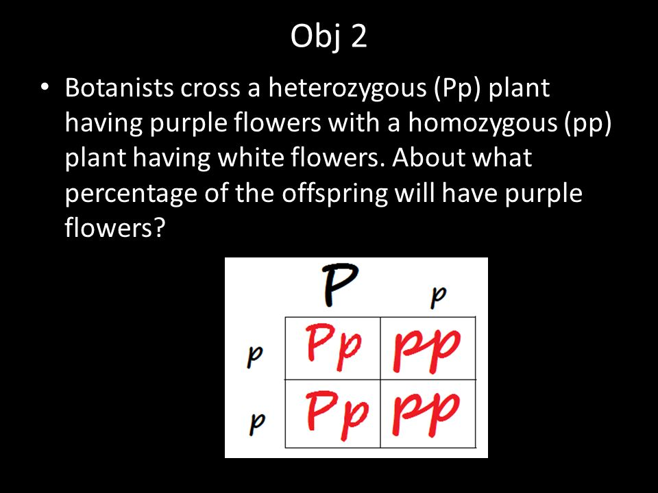 Obj 2 Botanists cross a heterozygous (Pp) plant having purple flowers with a homozygous (pp) plant having white flowers. About what percentage of the