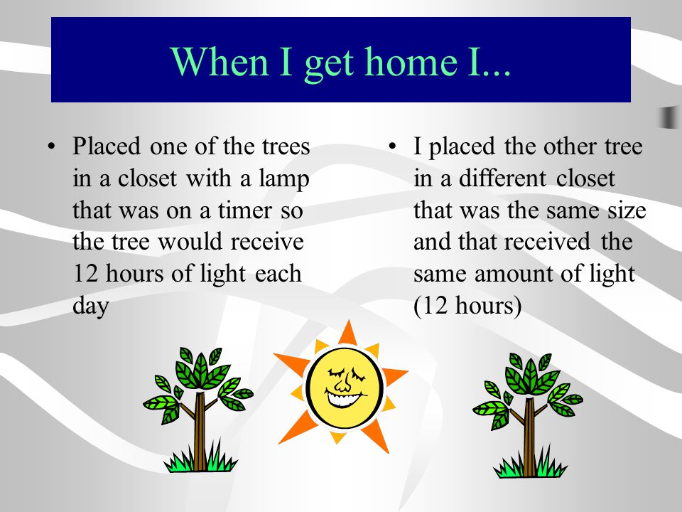 When I get home I... Placed one of the trees in a closet with a lamp that was on a timer so the tree would receive 12 hours of light each day I placed