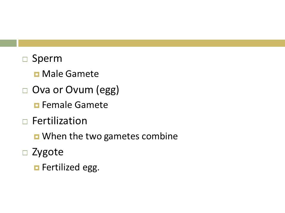  Sperm  Male Gamete  Ova or Ovum (egg)  Female Gamete  Fertilization  When the two gametes combine  Zygote  Fertilized egg.