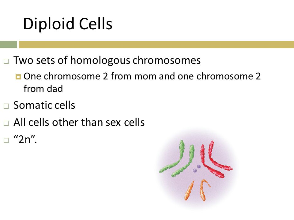 Diploid Cells  Two sets of homologous chromosomes  One chromosome 2 from mom and one chromosome 2 from dad  Somatic cells  All cells other than se