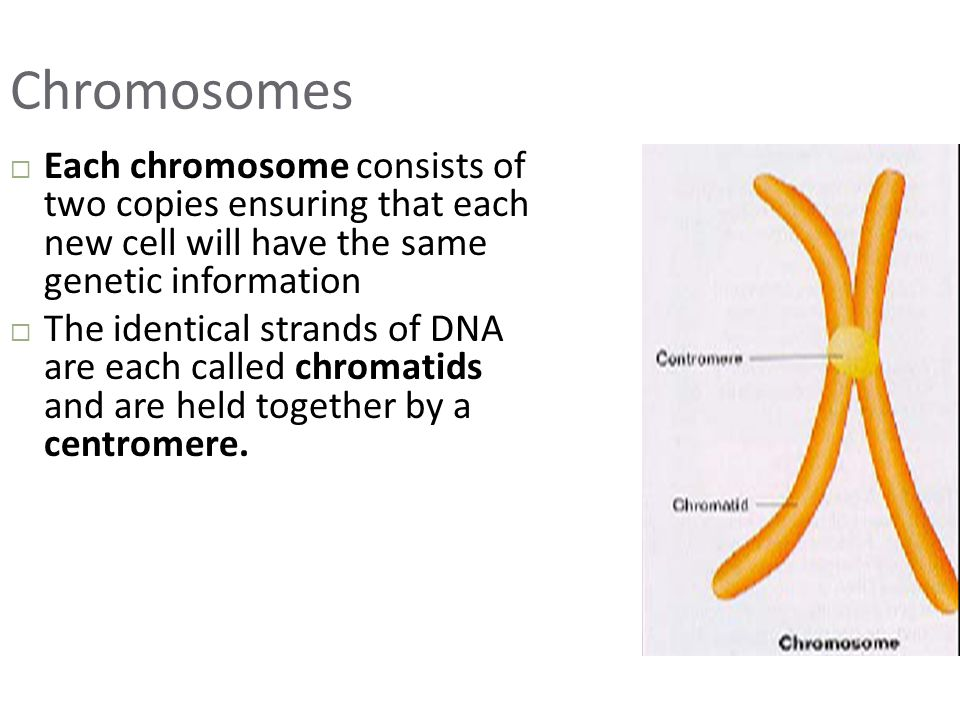 Chromosomes  Each chromosome consists of two copies ensuring that each new cell will have the same genetic information  The identical strands of DNA