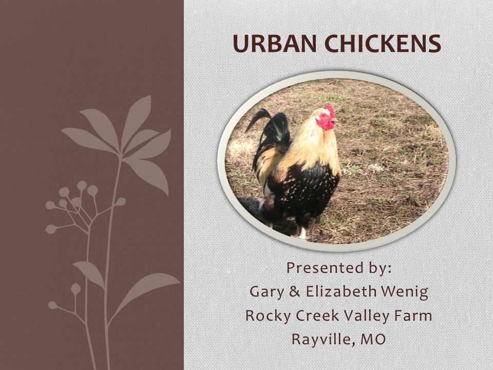 Urban Chicken Focus Topics Rocky Creek Valley Farm 2014 IPM – Integrated Pest Management Legislation Emergency Rescue Care and Feeding Pens & Coops Eggs Chicken Breeds