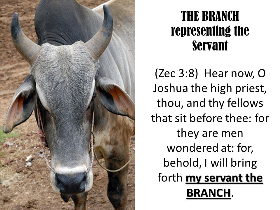 THE BRANCH representing the Servant my servant the BRANCH (Zec 3:8) Hear now, O Joshua the high priest, thou, and thy fellows that sit before thee: for they are men wondered at: for, behold, I will bring forth my servant the BRANCH.