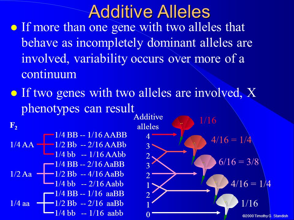 ©2000 Timothy G. Standish Additive Alleles If more than one gene with two alleles that behave as incompletely dominant alleles are involved, variabili
