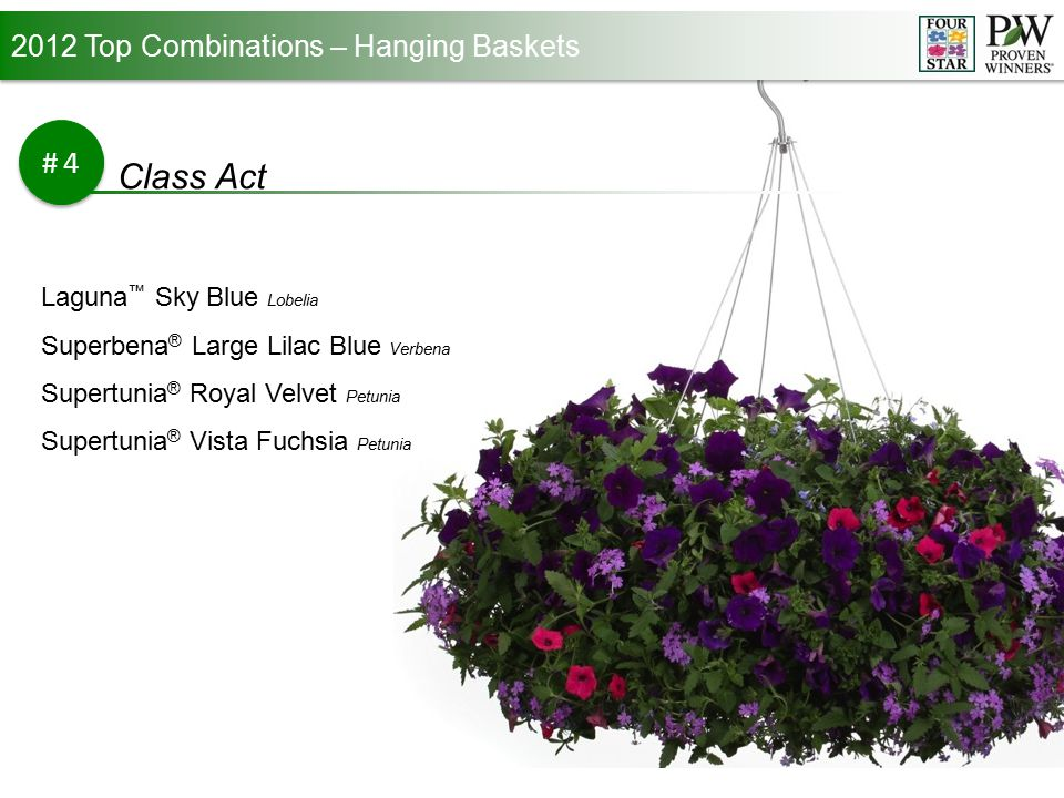 2012 Top Combinations – Hanging Baskets #5 Princess Grace Lanai ® Royal Purple with Eye Verbena Snow Princess ® Lobularia Supertunia ® Bordeaux Petunia