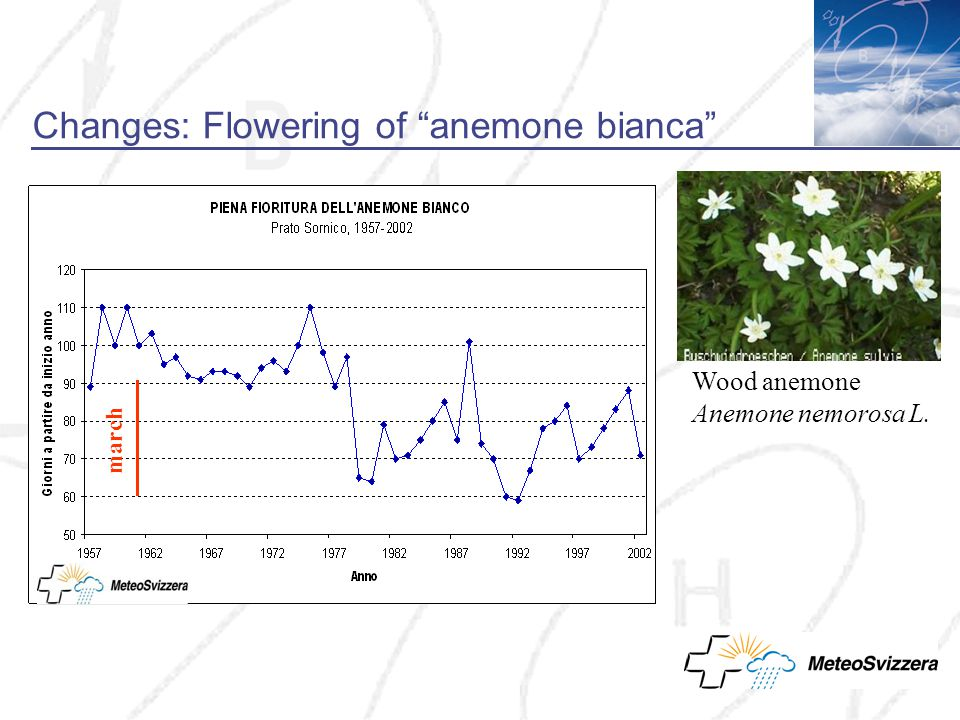 Changes: Flowering of anemone bianca march Wood anemone Anemone nemorosa L.
