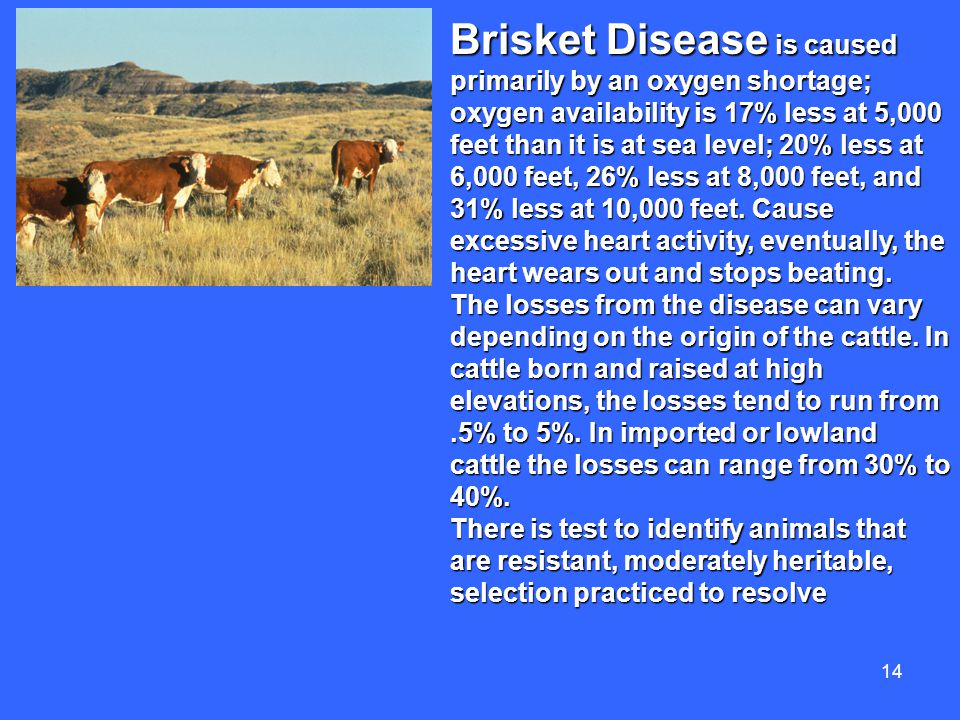 14 Brisket Disease is caused primarily by an oxygen shortage; oxygen availability is 17% less at 5,000 feet than it is at sea level; 20% less at 6,000 feet, 26% less at 8,000 feet, and 31% less at 10,000 feet.