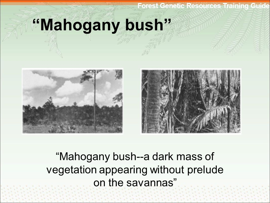 Forest Genetic Resources Training Guide Mahogany bush Mahogany bush--a dark mass of vegetation appearing without prelude on the savannas
