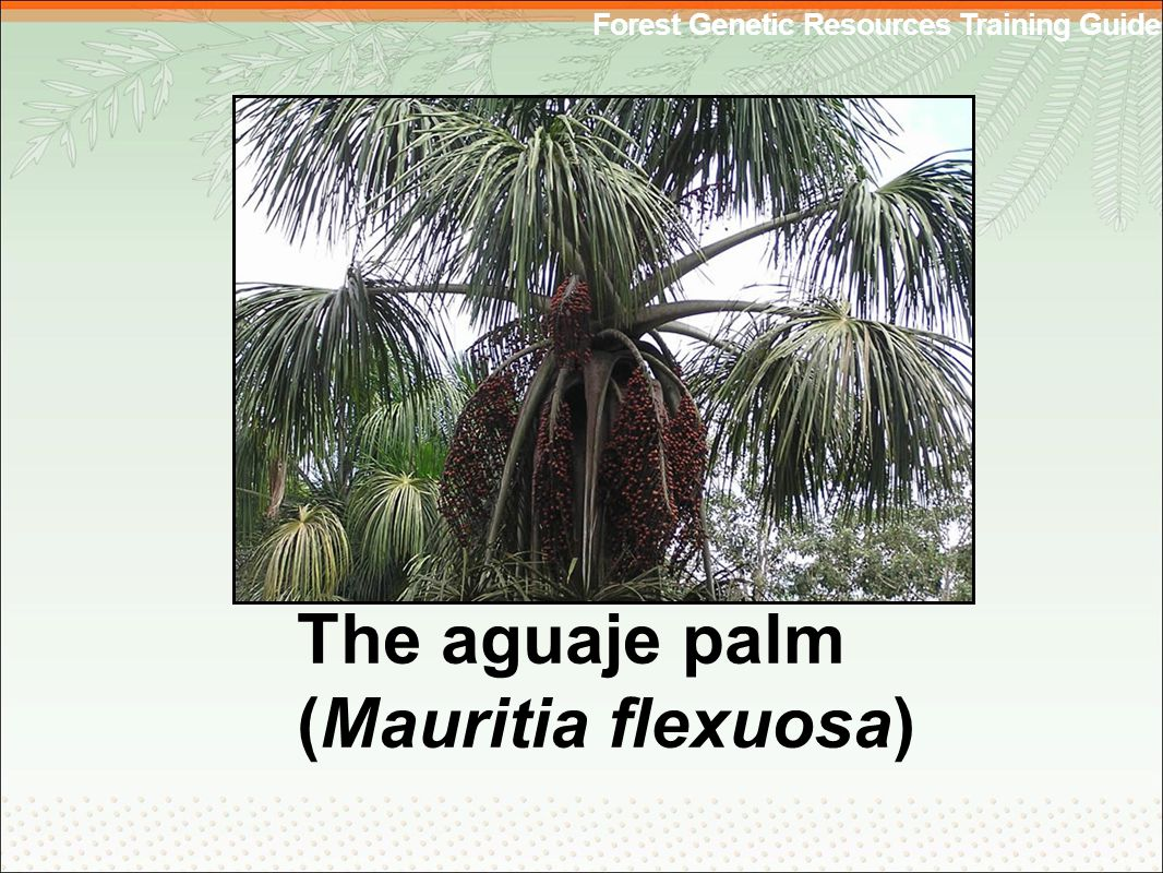 Forest Genetic Resources Training Guide The aguaje palm (Mauritia flexuosa)