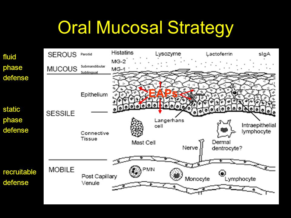Oral Mucosal Strategy fluid phase defense static phase defense recruitable defense EAPs Parotid Submandibular Sublingual