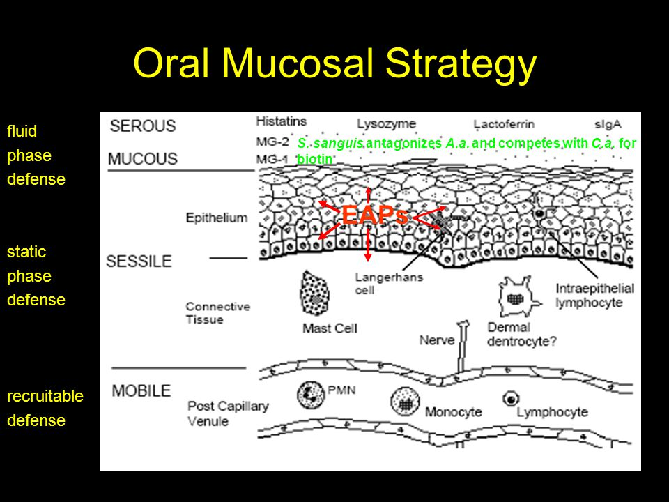 Oral Mucosal Strategy fluid phase defense static phase defense recruitable defense EAPs S.