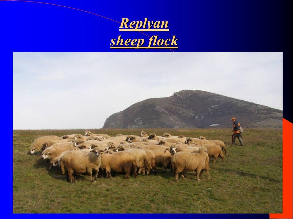 Replyan sheep flock