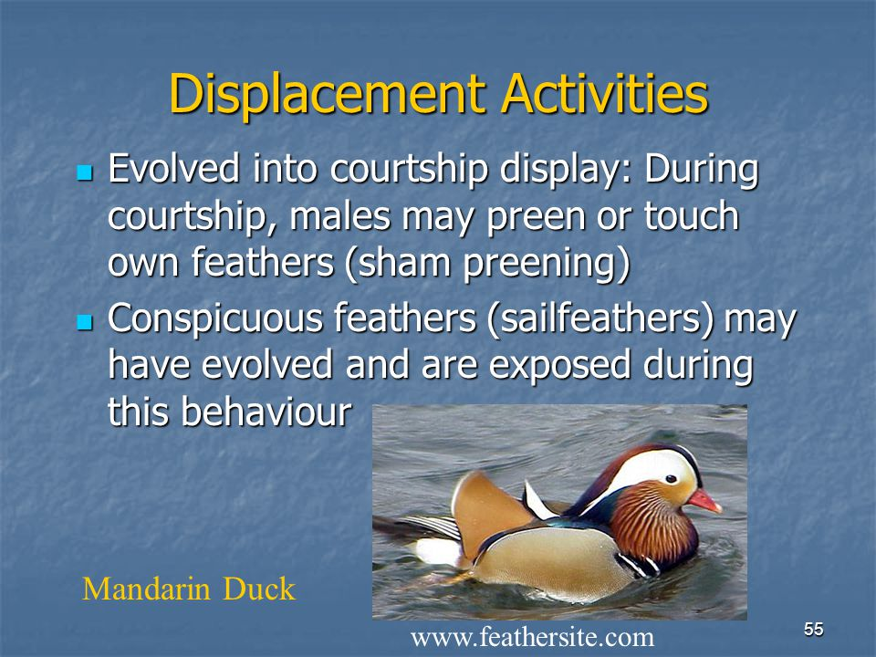 """54 Displays may have arisen from… Intention movements - e.g., """"powk"""" calls of BL Kittiwakes -- gannets Intention movements - e.g., """"powk"""" calls of BL"""
