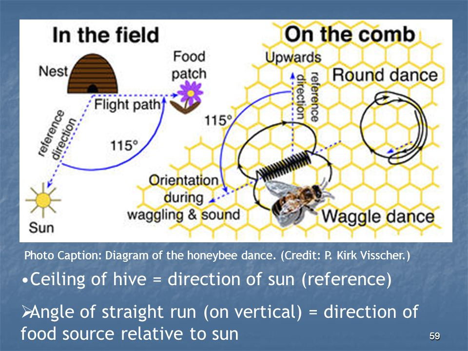 """58 Honeybee communicative dances """"Round Dance"""" Food nearby; less detailed """"Waggle Dance"""" Food >200m away; more detailed"""