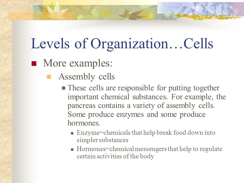Levels of Organization…Cells More examples: Assembly cells These cells are responsible for putting together important chemical substances. For example