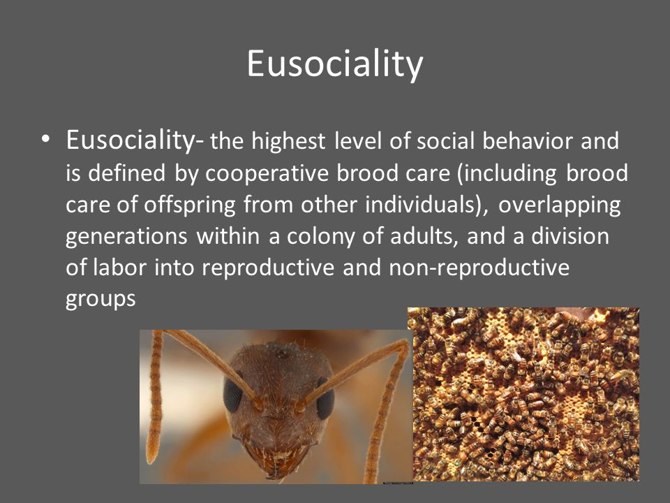 Eusociality Eusociality- the highest level of social behavior and is defined by cooperative brood care (including brood care of offspring from other individuals), overlapping generations within a colony of adults, and a division of labor into reproductive and non-reproductive groups