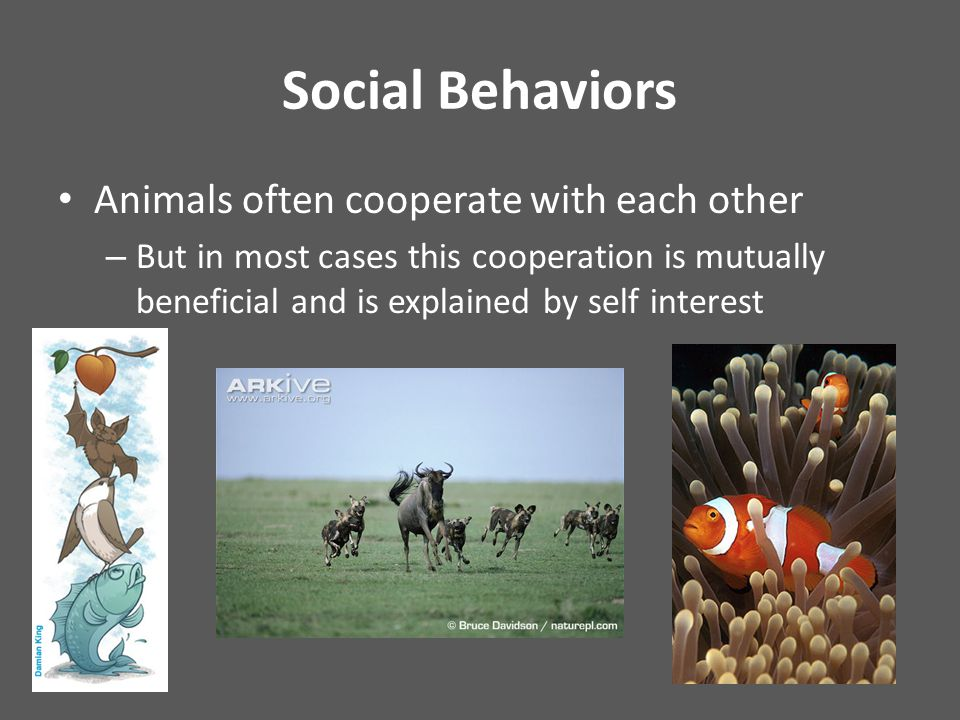 Social Behaviors Animals often cooperate with each other – But in most cases this cooperation is mutually beneficial and is explained by self interest