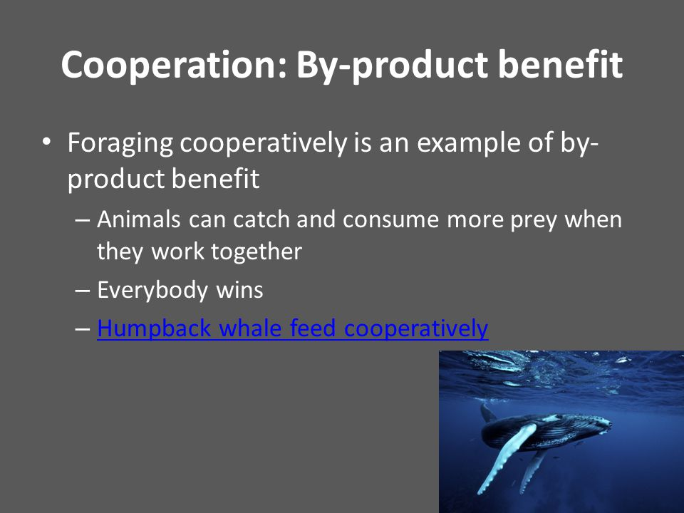 Cooperation: By-product benefit Foraging cooperatively is an example of by- product benefit – Animals can catch and consume more prey when they work together – Everybody wins – Humpback whale feed cooperatively Humpback whale feed cooperatively